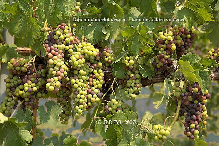 Grapes ripening on the vine in a Virginia vineyard.