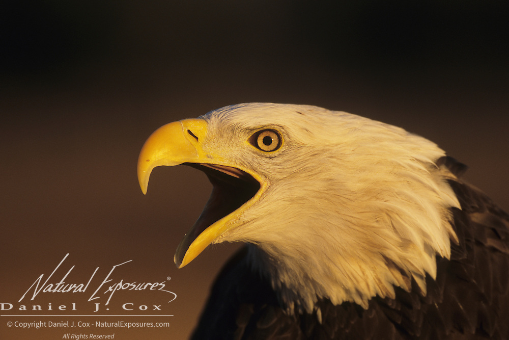 Bald Eagle (Haliaeetus leucocephalus) portrait of an adult vocalizing. Captive Animal