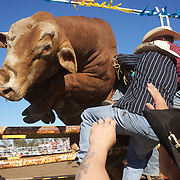 Cowboy's struggle to keep a bull in the chute as it struggles before competition during the Novice Bull Riding Event at the Branxton Rodeo at Branxton, Hunter Valley,  New South Wales, Australia, on Saturday 17th October 2009.  Photo Tim Clayton.
