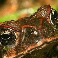 Alberto Carrera, Toad, Tropical Rainforest, Napo River Basin, Amazonia, Ecuador, South America, America