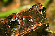 Alberto Carrera, Toad, Tropical Rainforest, Napo River Basin, Amazonia, Ecuador, South America, America