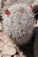 Pott's Mammillaria (Mammillaria pottsii) at Big Bend Ranch State Park, Texas