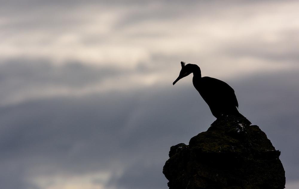 Shag in silhouette, Lunga, Scotland,