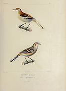 hand coloured sketch top: brown-backed mockingbird (Mimus dorsalis [Here as Orpheus dorsalis]) Bottom: Patagonian Mockingbird (Mimus patagonicus [Here as Orpheus patagonicus]) From the book 'Voyage dans l'Amérique Méridionale' [Journey to South America: (Brazil, the eastern republic of Uruguay, the Argentine Republic, Patagonia, the republic of Chile, the republic of Bolivia, the republic of Peru), executed during the years 1826 - 1833] 4th volume Part 3 By: Orbigny, Alcide Dessalines d', d'Orbigny, 1802-1857; Montagne, Jean François Camille, 1784-1866; Martius, Karl Friedrich Philipp von, 1794-1868 Published Paris :Chez Pitois-Levrault et c.e ... ;1835-1847