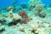 Israel, Eilat, Red Sea, - Underwater photograph of a Coral reef fish