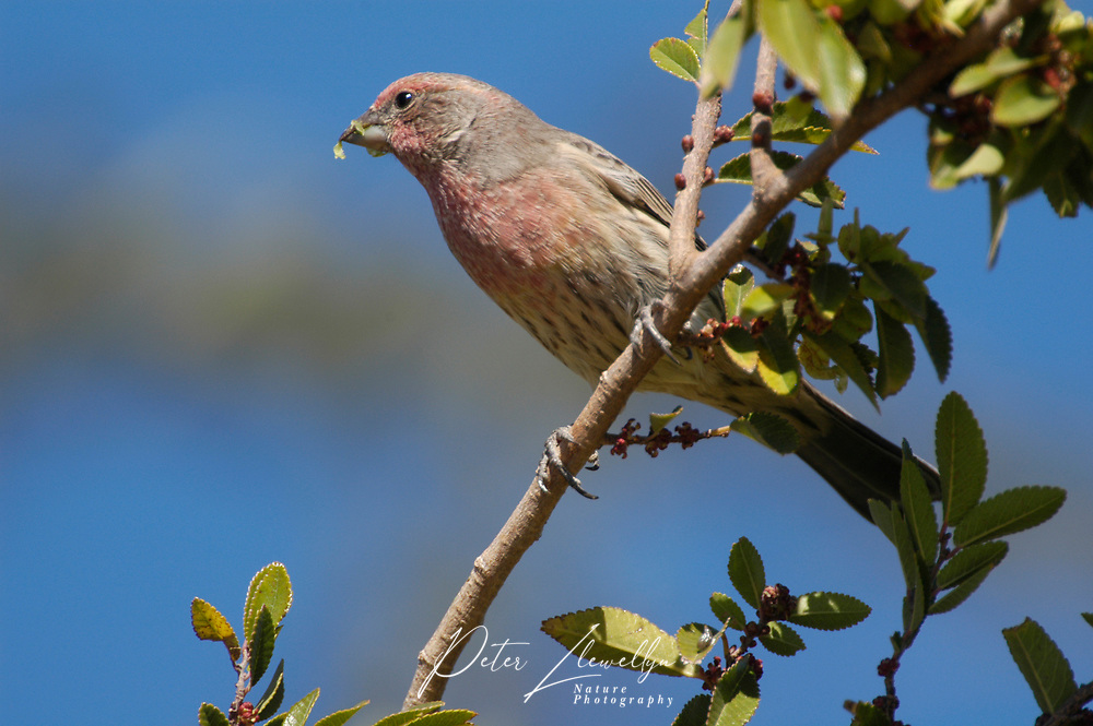 Purple Finch (Carpodacus purpureus) in tree, Las Vegas, Nevada, USA Photo: Peter LLewellyn