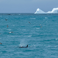 Black-browed albatross and pintado petrels fly above a surfacing killer whale in Royal Bay off of South Georgia Island.