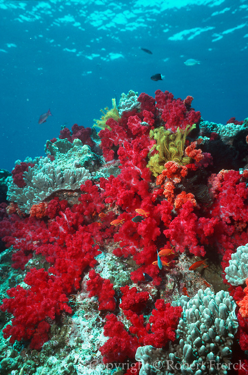 UNDERWATER MARINE LIFE WEST PACIFIC, Fiji Islands Coral Reef: soft coral attached to hard coral Dendronephthya species