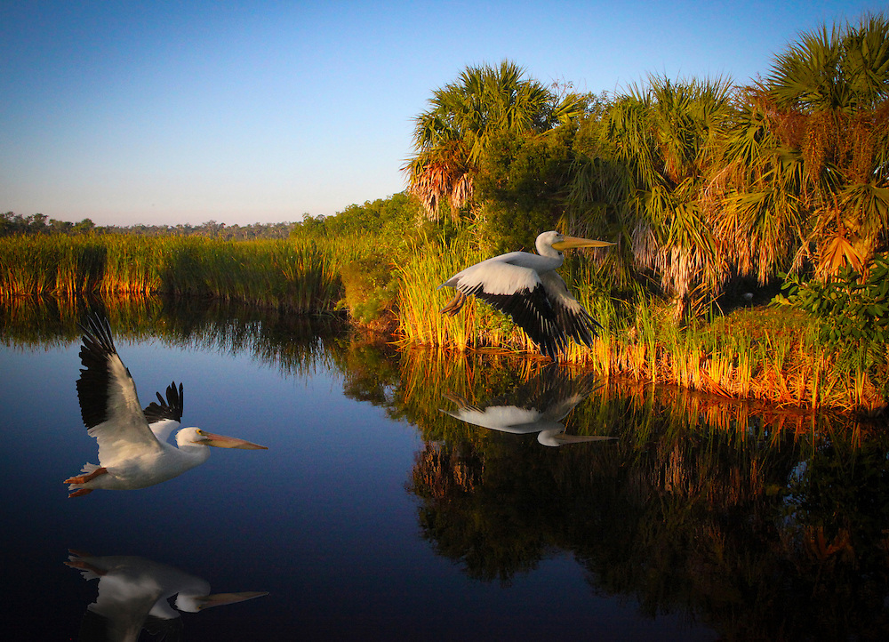 White Pelicans fly over  the everglades in Big Cypress National Park