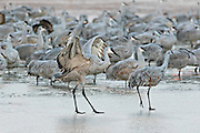 Sandhill Cranes slide across the frozen marsh as they struggle to fly off to the feeding ground after spending the night at the Bosque del Apache National Wildlife Refuge in San Antonio, New Mexico. The cranes freeze in place as night temperatures drop and then free themselves when the sun warms the water.