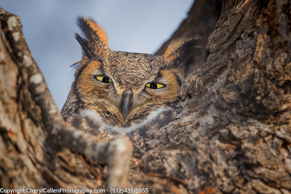 Great Horned Owl sitting on her nest in a tree