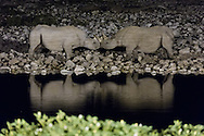 Under the cover of darkness, two endangered black rhinos socialize next to the Okaukuejo Waterhole, their bodies reflected in the still water.  These uncommon rhinos are rarely seen in daylight and are usually solitary creatures.  Only at night can they be seen interacting with one another socially.