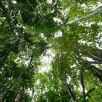 This lowland rainforest in New Guinea is dominated by large Licuala fan palms. Papua, Indonesia.