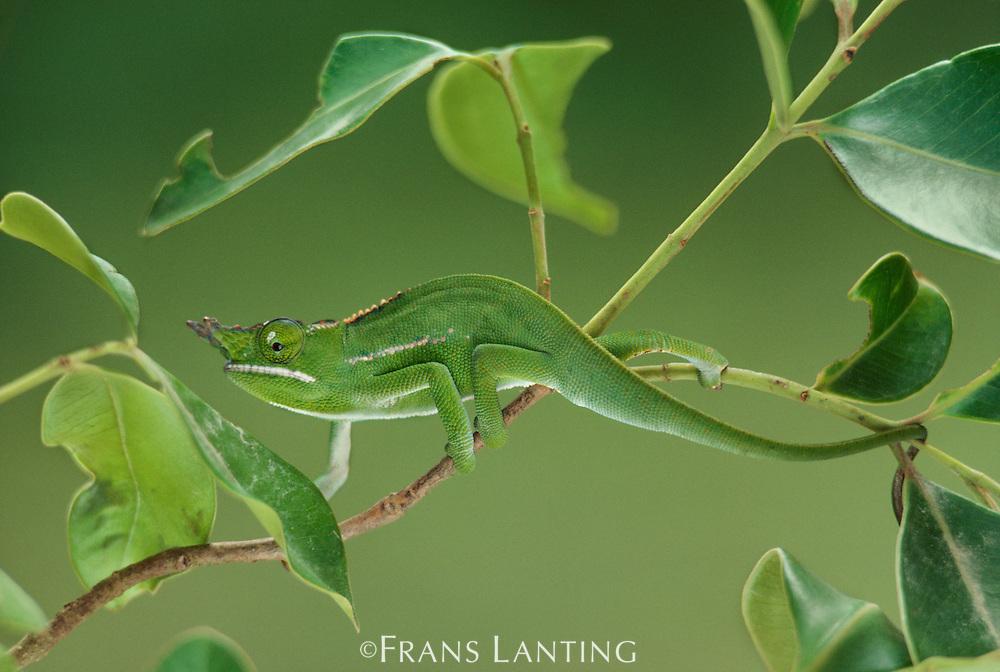 Fork-nosed chameleon camouflaged in foliage, Calumma furcifer, Eastern Madagascar