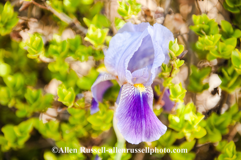 Iris, flower, Abiquiu, New Mexico