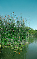 COMMON CLUB-RUSH Schoenoplectus lacustris. Height to 3m. Tall, grey-green perennial of river margins and fresh and brackish marshes. Flowers stalked, egg-shaped brown spikelets bourne in clusters (June-Aug). Fruits greyish brown. Leaves narrow and submereged. Status locally common.