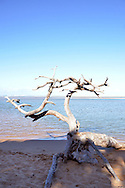 A weathered tree stands at the water at the Kosi Bay river mouth in iSimangaliso Wetland Park