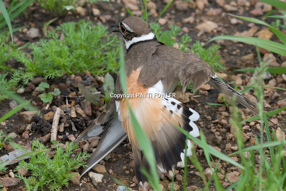 Killdeer in grass displaying broken wing defense