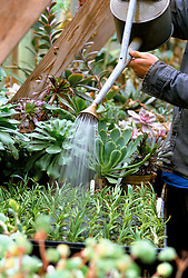Watering a tray of succulents with a watering can in the greenhouse at Great Dixter