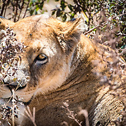 A female lion sits partially obscured by plants at Ngorongoro Crater in the Ngorongoro Conservation Area, part of Tanzania's northern circuit of national parks and nature preserves.