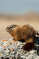Yellow Bellied Marmot in Utah they are found in the higher elevations in the mountains and also in the more arid desert areas.