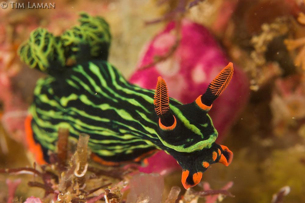 Nudibranch (Nembrotha kubaryana).