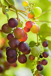 Druif, Wijnstok, Vitis vinifera