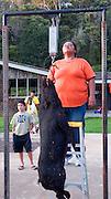 Weighing wild boar, pig, Kokee, Kauai, Hawaii