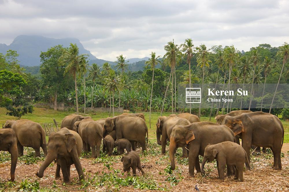 Elpehants, parent and cubs at Pinnawala Elephant Orphanage, Sri Lanka