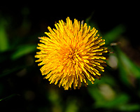 Dandelion Flower. Image taken with a Fuji X-H1 camera and 80 mm f/2.8 macro lens (ISO 200, 80 mm, f/5.6, 1/2500 sec).