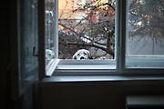 "English Setter ""Rudy"" schaut am 27.02. 2019 durch das Fenster ins Haus in Lysa nad Labem, (Tschechische Republik).  Rudy wurde Anfang Januar 2017 geboren."