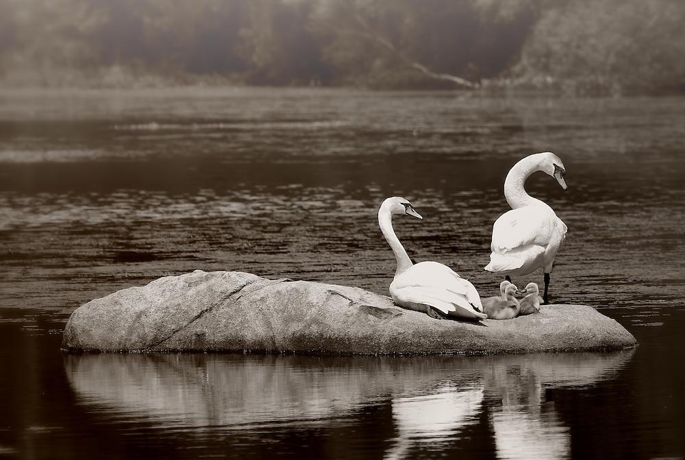 The swan family enjoy a break on Torry Pond in Norwell, Massachusetts.