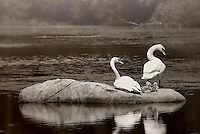 The swan family enjoy a break on Torry Pond in Norwell, Massachusetts.