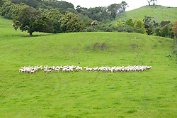 New Zealand, North Island, near Wellington, sheep dogs herd sheep near The Wool Shed in Wairarapa. Photo copyright Lee Foster. Photo # newzealand125795