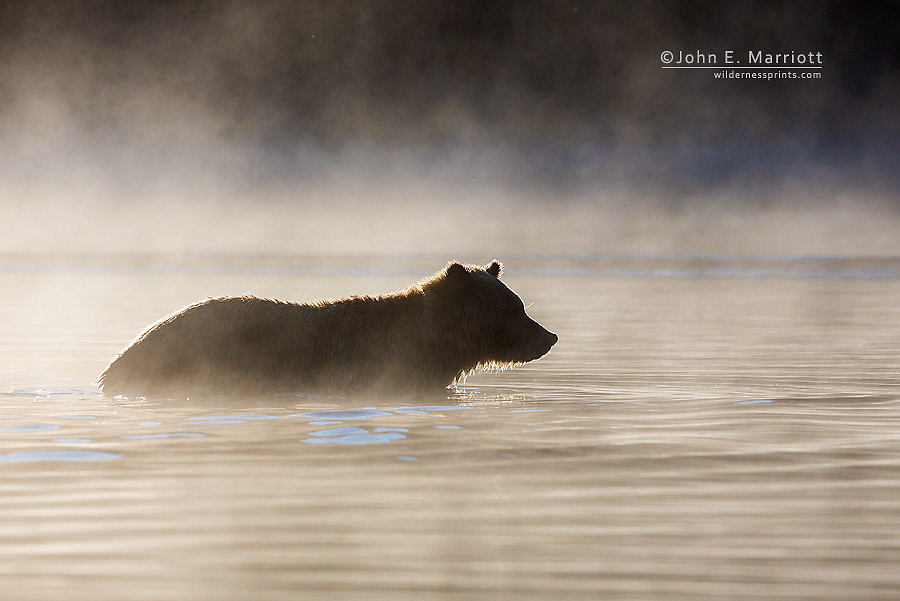 Grizzly bear, Chilcotin, British Columbia, Canada