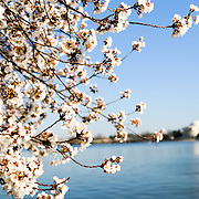 2011 Cherry Blossoms during peak bloom around the Tidal Basin in Washington DC