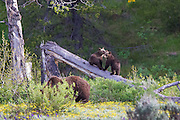 Grizzly Bear Cubs playing in Grand Teton National Park
