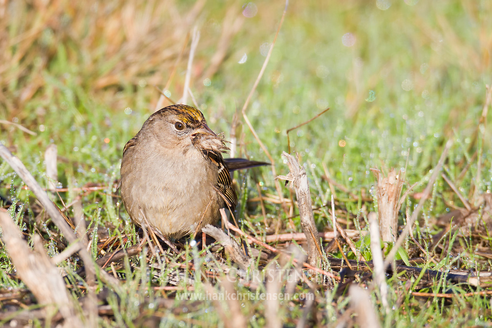 A golden-crowned sparrow chews through a piece of wetland grass