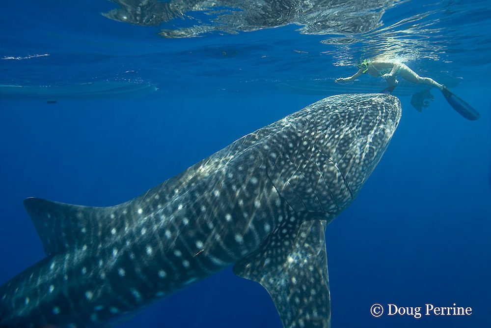 whale shark, Rhincodon typus, investigates snorkeler and small boats, Kona Coast, Hawaii Island ( the Big Island )<br /> Hawaiian Islands, USA ( Central Pacific Ocean ) MR 360