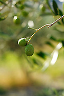 Close up, olives on branch, Italy.