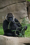 A gorilla at the San Diego Zoo