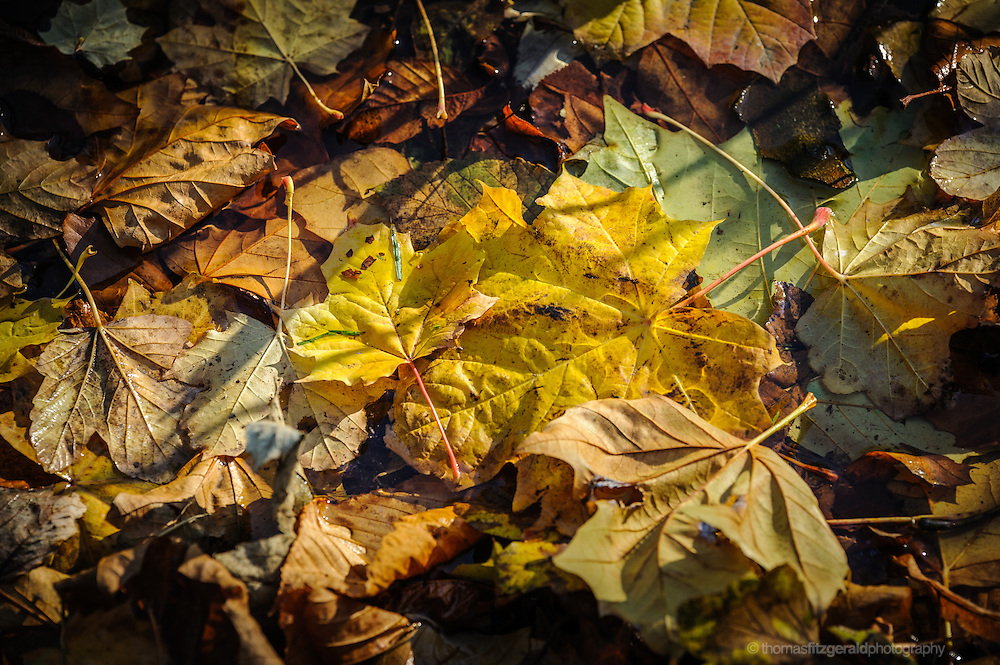 Dappled Sunlight on a carpet of Fallen Autumn Leaves, Floating in water. The rich fall colours of the leaves are enhanced by the beautiful morning sunshine