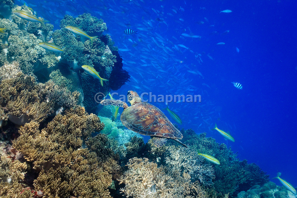 Green Turtle (Chelonia mydas) swimming over coral - Agincourt reef, Great Barrier Reef, Queensland, Australia.