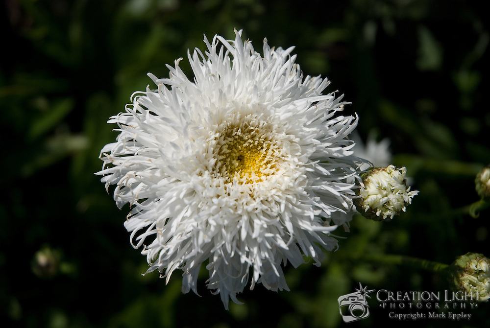 Beautiful white and yellow Chrysanthemum with fine string like petals.