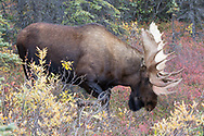 Alaskan bull moose paws the ground showing rutting behavior.