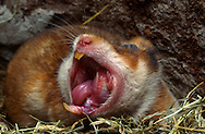 Deutschland, DEU, Cuxhaven: Gähnender weiblicher Goldhamster (Mesocricetus auratus) liegt im Schlaflager aus Heu. | Germany, DEU, Cuxhaven: Golden Hamster (Mesocricetus auratus) female, yawning , laying in its subterranean sleeping nest made out of hay. |