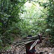 A honey hunter carries tree trunks inside the rainforest during a preparation for harvesting honey. Preparation work such as getting stuff to be used in harvesting the honey and constructing  ladder done during day.