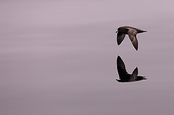 USA ALASKA  BERLING SEA 6JUL12 - A juvenile fulmar coasts over the unusually calm waters of the Bering Sea, Alaska.....Photo by Jiri Rezac / Greenpeace....© Jiri Rezac / Greenpeace