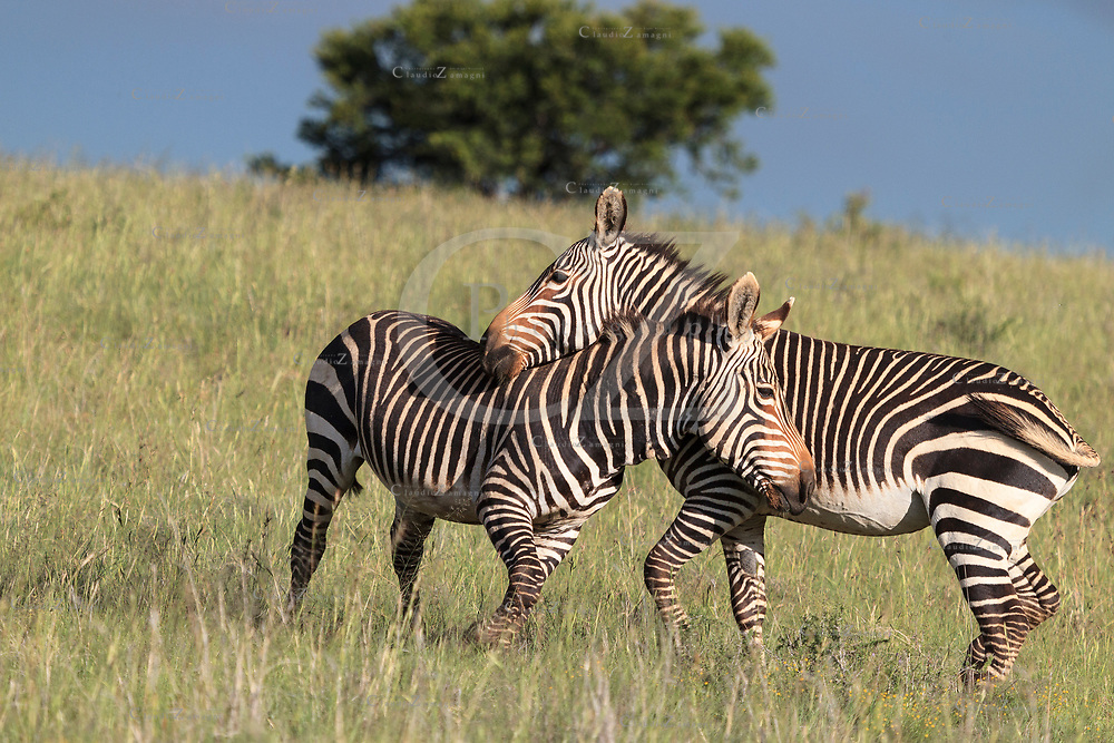 Cape Moutain Zebras are playing at mountain zebra national park south africa<br />