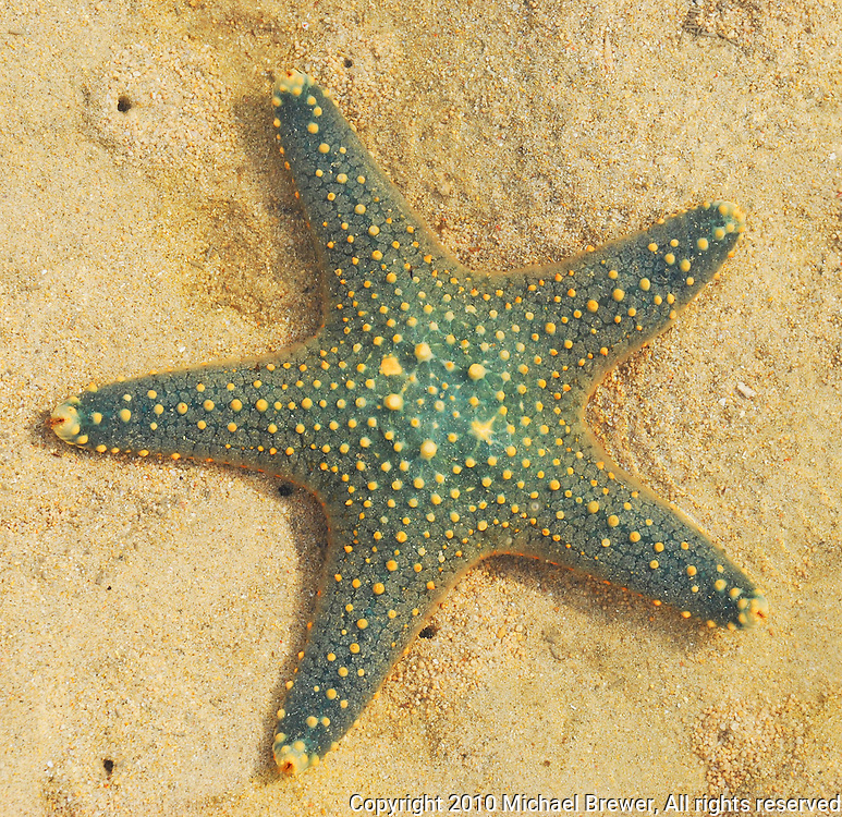 Lovely green starfish with yellow spots lying in the sand on a beach in Bali, Indonesia.